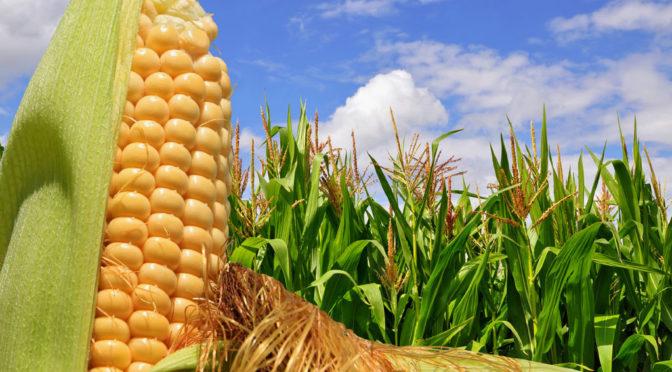 Transformar el maíz en electrones